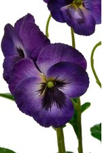 "15"" PANSY SPRAY PURPLE"