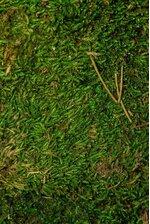 PRESERVED SHEET MOSS BASIL GREEN 8OZ