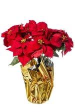 POINSETTIA 9 FLOWER IN FOAM RED