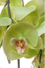 "44"" ORCHID PHALAENOPSIS STEM GREEN"