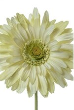 "29"" SILK GERBERA DAISY LIGHT GREEN"