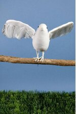 "12"" FEATHER/COTTON FLYING DOVE WHITE PKG/6"