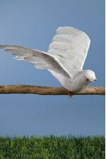 "10"" FEATHER/COTTON FLYING DOVE PKG/12"