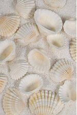 "0.75""- 1"" WHITE ARKS NATURAL SHELLS PKG/1LB"