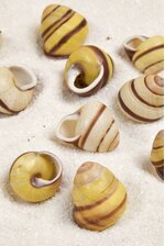 YELLOW LAND SNAIL PKG/24