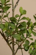"48"" BOXWOOD SPRAY GREEN"
